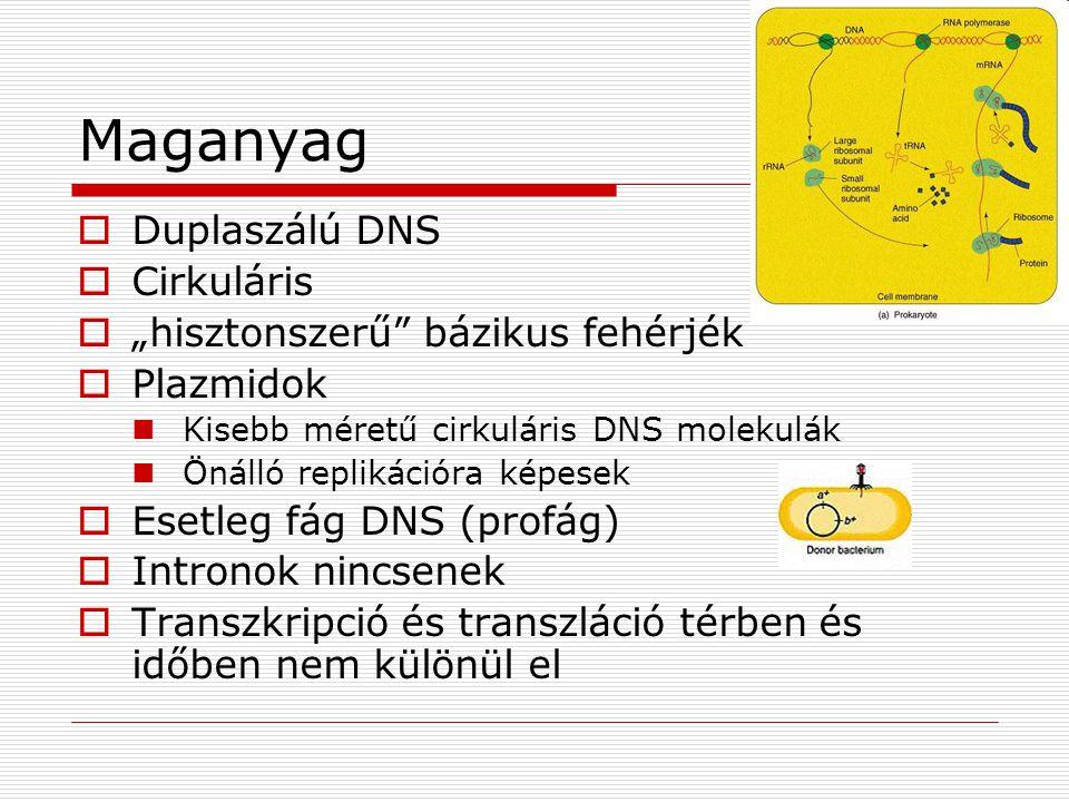 """Maganyag  Duplaszálú DNS  Cirkuláris  """"hisztonszerű"""" bázikus fehérjék  Plazmidok Kisebb méretű cirkuláris DNS molekulák Önálló replikációra képese"""