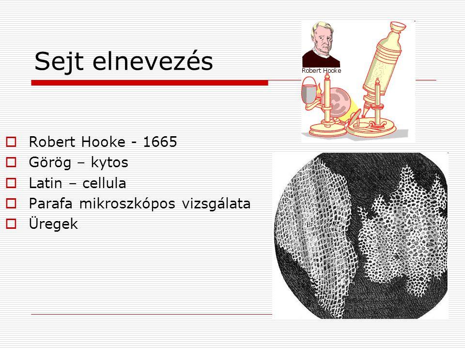 Sejt elnevezés  Robert Hooke - 1665  Görög – kytos  Latin – cellula  Parafa mikroszkópos vizsgálata  Üregek