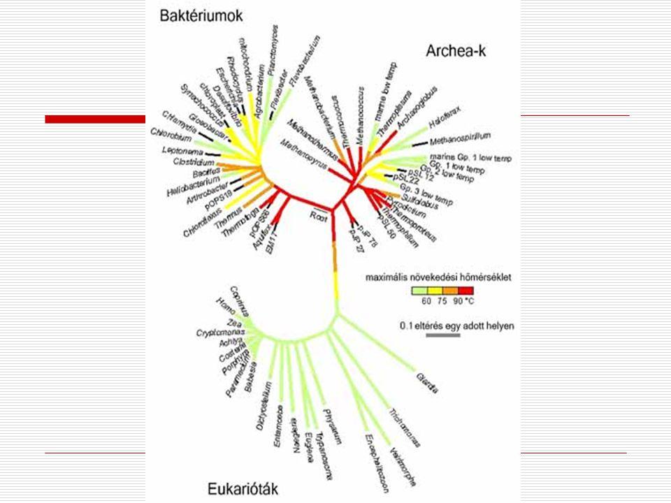 Prokarióták  A sejt egyik megjelenési formája  Egyszerűbb  A ma élő fajok 1-10%-a  Nem rendelkeznek valódi sejtmaggal  Sokszor hiányoznak az eukarióta sejtalkotók (mitokondriumok, kloroplaszt, Golgi, ER)  Archaebacteria – ősbaktériumok  Eubacteria – valódi baktériumok  Egysejtűek – méretük m-es nagyságrendű  Elérhetik a többsejtű szerveződési szintet – telepeket alkotnak – de minden sejt önálló működésre képes!!