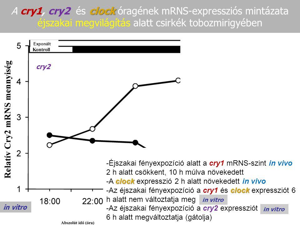 clock A cry1, cry2 és clock óragének mRNS-expressziós mintázata éjszakai megvilágítás alatt csirkék tobozmirigyében in vivo cry1 in vivo cry1 clock in