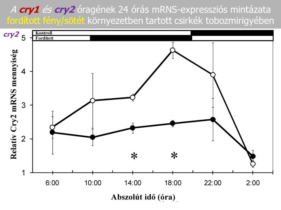 A cry1 és cry2 óragének 24 órás mRNS-expressziós mintázata fordított fény/sötét környezetben tartott csirkék tobozmirigyében cry1 - A cry1 és cry2 mRN