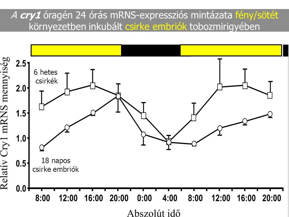 A cry1 óragén 24 órás mRNS-expressziós mintázata fény/sötét környezetben inkubált csirke embriók tobozmirigyében 18 napos csirke embriók 6 hetes csirk