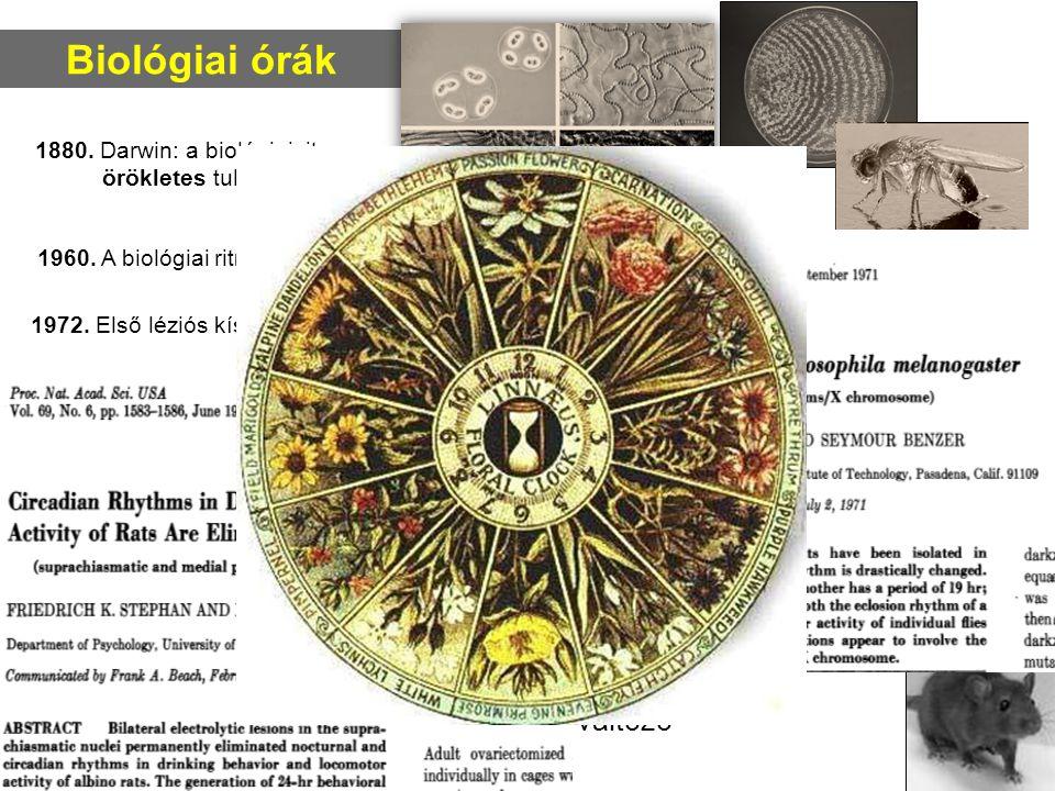 Biológiai órák 1972. Első léziós kísérletek, első mutációk 1880. Darwin: a biológiai ritmus örökletes tulajdonság A cirkadián ritmus Sejtszintű: proka