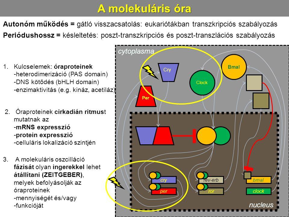 A molekuláris óra 1.Kulcselemek: óraproteinek -heterodimerizáció (PAS domain) -DNS kötődés (bHLH domain) -enzimaktivitás (e.g. kináz, acetiláz) cry pe