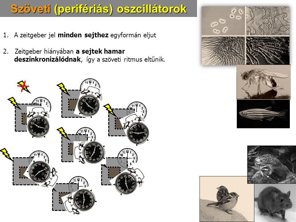 Szöveti (perifériás) oszcillátorok 1.A zeitgeber jel minden sejthez egyformán eljut 2. Zeitgeber hiányában a sejtek hamar deszinkronizálódnak, így a s