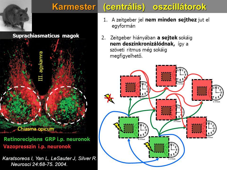 Karmester (centrális) oszcillátorok 1.A zeitgeber jel nem minden sejthez jut el egyformán 2. Zeitgeber hiányában a sejtek sokáig nem deszinkronizálódn
