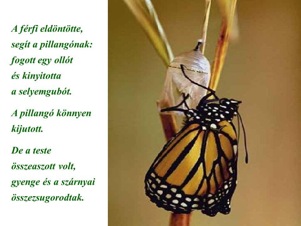 A férfi eldöntötte, segít a pillangónak: fogott egy ollót és kinyitotta a selyemgubót. A pillangó könnyen kijutott. De a teste összeaszott volt, gyeng