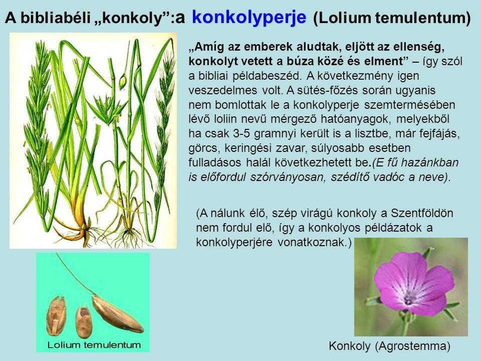 """Az """"illatos nád : arab citromcirok, tevefű (Cymbopogon schoenanthus) A görög kalamosz (nád) szót Károli Gáspár kálmusnak fordította, így a növényt a hazánkban élő kálmosra (Acorus calamus) értették, de az a faj nem élt a Szentföldön"""