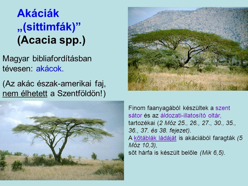 """Föníciai boróka, hangafa (Juniperus phoenicea) A """"legmediterránabb"""" borókák közé tartozik: az aleppóifenyőhöz hasonlóan végig kíséri a mediterrán part"""