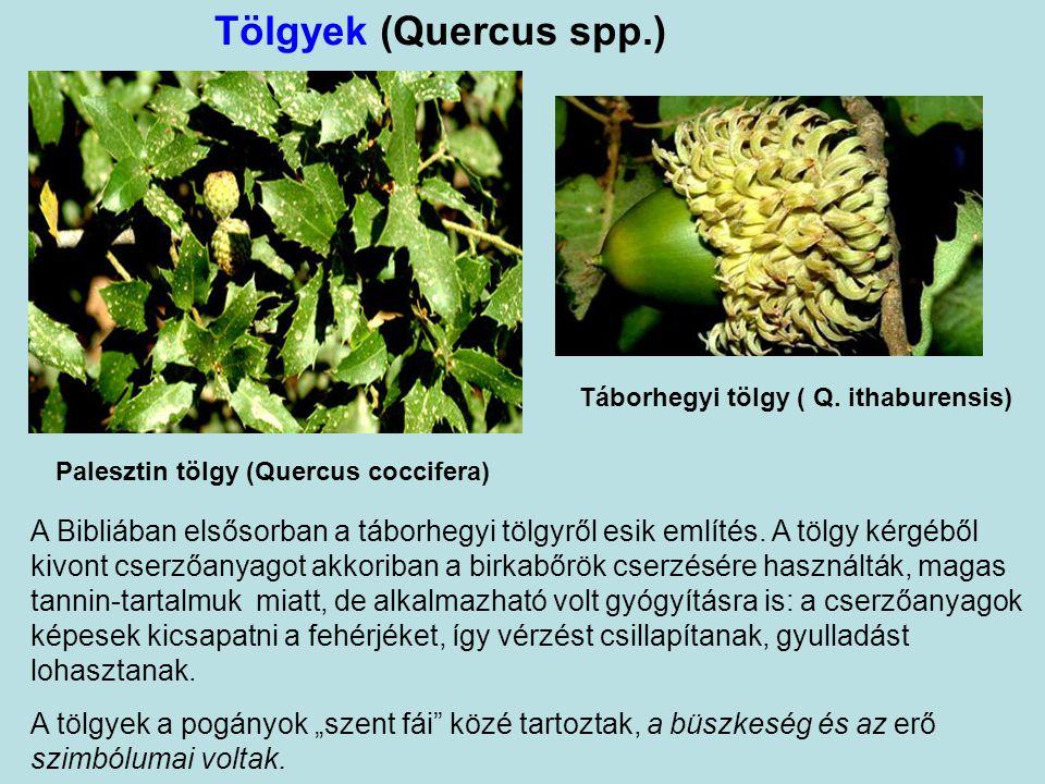 """Akáciák """"(sittimfák)"""" (Acacia spp.) Magyar bibliafordításban tévesen: akácok. (Az akác észak-amerikai faj, nem élhetett a Szentföldön!) Finom faanyagá"""