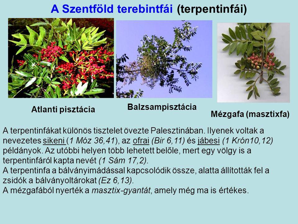 Tölgyek (Quercus spp.) Palesztin tölgy (Quercus coccifera) Táborhegyi tölgy ( Q. ithaburensis) A Bibliában elsősorban a táborhegyi tölgyről esik említ