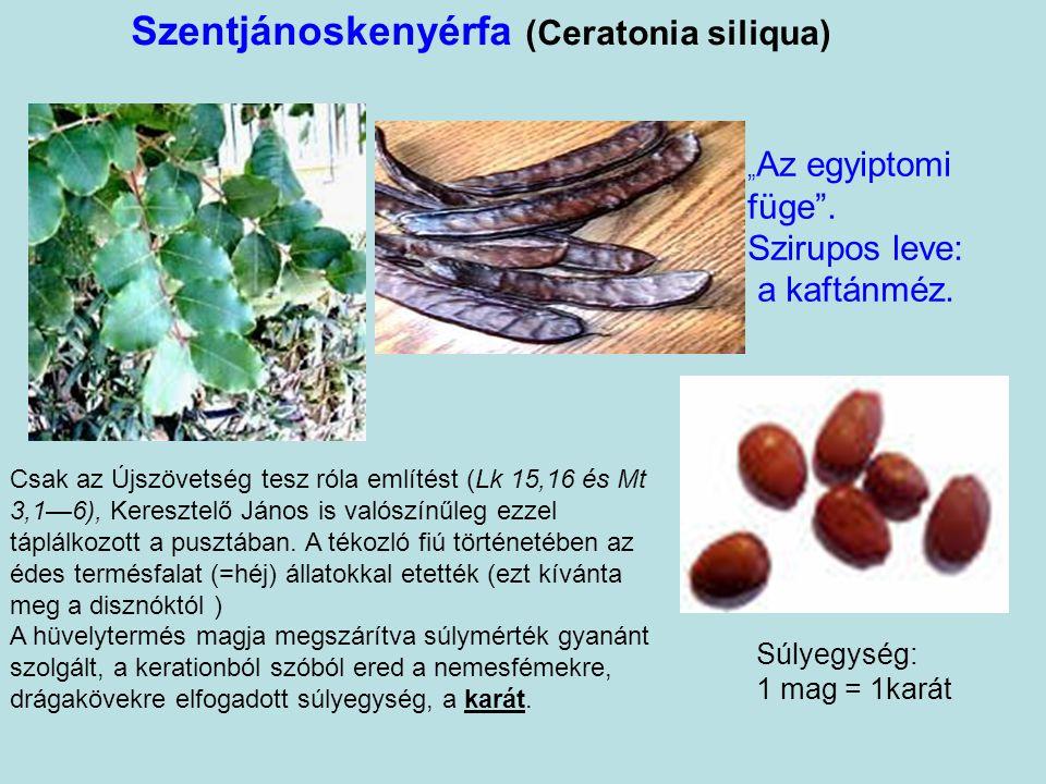 Babérfa (Laurus nobilis) A babérkoszorú a költők, atléták győzelmi jelvénye volt. A babér a Földközi-tenger térségének egyik tipikus örökzöld növénye.