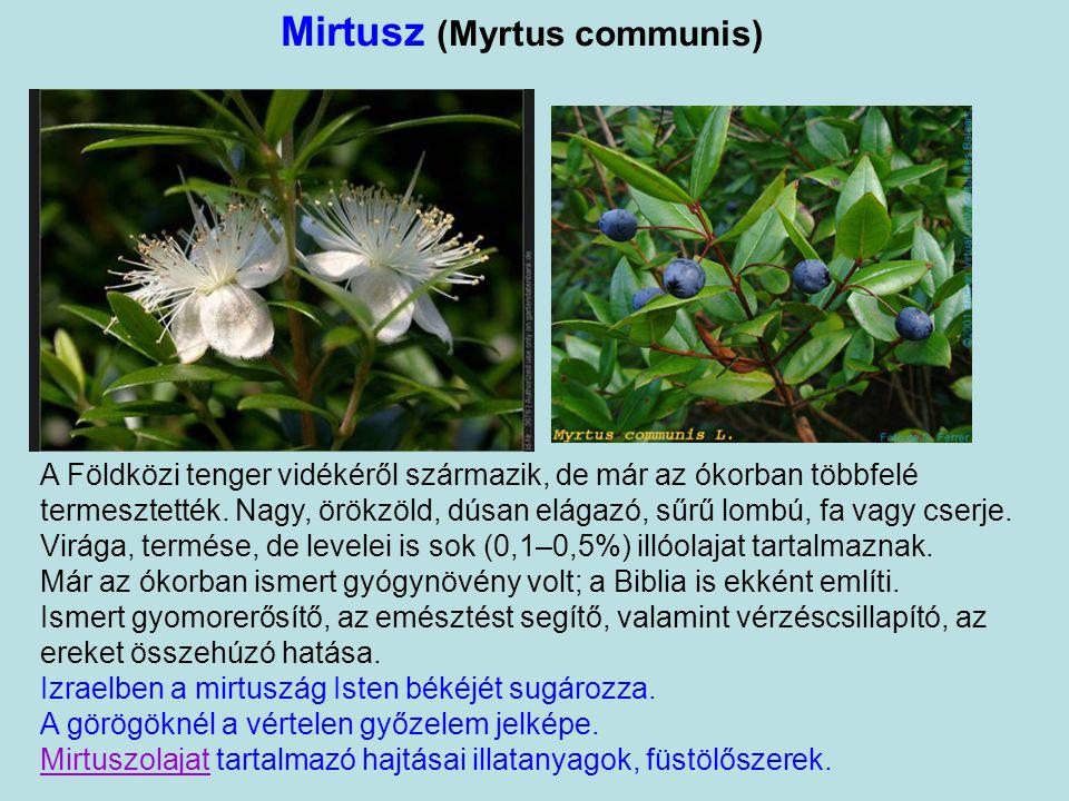 """Szentjánoskenyérfa (Ceratonia siliqua) Súlyegység: 1 mag = 1karát """" Az egyiptomi füge"""". Szirupos leve: a kaftánméz. Csak az Újszövetség tesz róla emlí"""