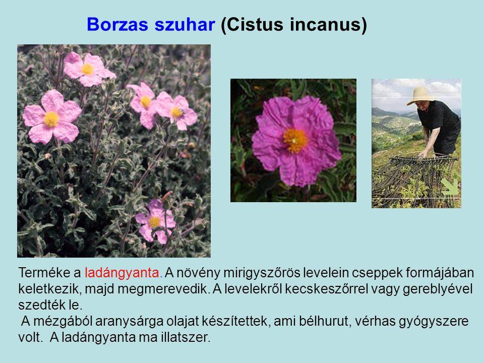 Fekete mustár (Brassica nigra) A Genezáreti tó környékén elterjedt fekete mustárt a bibliai idők lakói földjeiken is termesztelték értékes magjáért, a