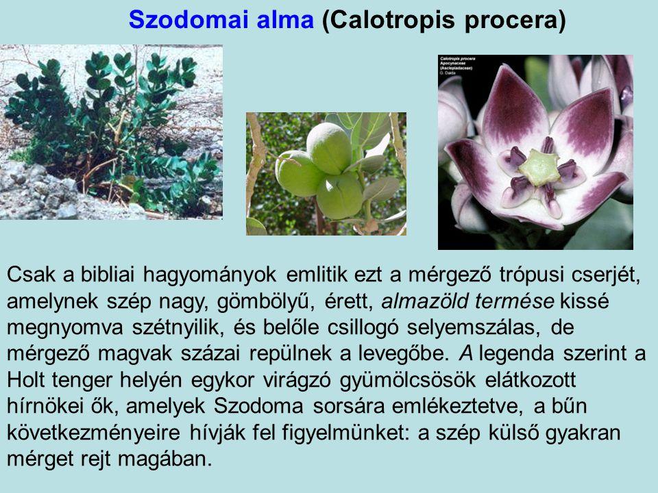 Jerikóirózsa, feltámadásvirág (Anastatica hierochuntica) Apró, egynyári, keresztesvirágú gyom. Egy tőből a földön szétterülő szárakat növeszt, levele