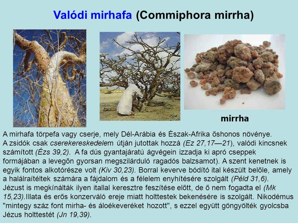 Valódi v. arab tömjénfa (Boswellia sacra) tömjén (olibanum) A Napkeleti Bölcsek három ajándékának egyike. Az egyik legősibb kultikus füstölőszer, füst
