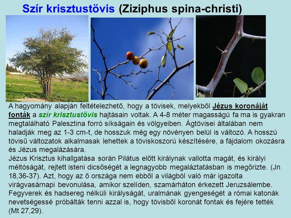 Nárdusz (Nardostachys jatamansi) A jatamansi jelentése: a növény, melynek szára olyan, mint az összecsomósodott hajfürt, azaz gyökerei olyanok, mint a