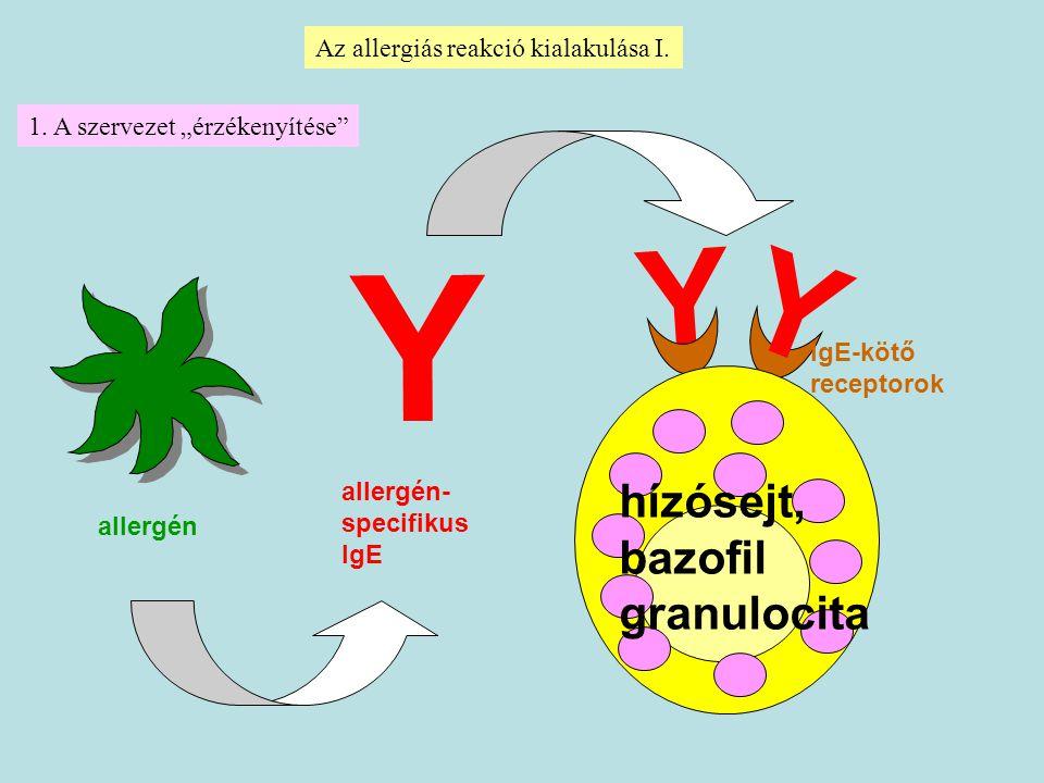 """allergén Az allergiás reakció kialakulása I. allergén- specifikus IgE Y Y hízósejt, bazofil granulocita IgE-kötő receptorok Y 1. A szervezet """"érzékeny"""