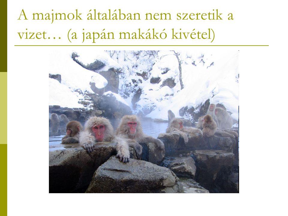 A majmok általában nem szeretik a vizet… (a japán makákó kivétel)