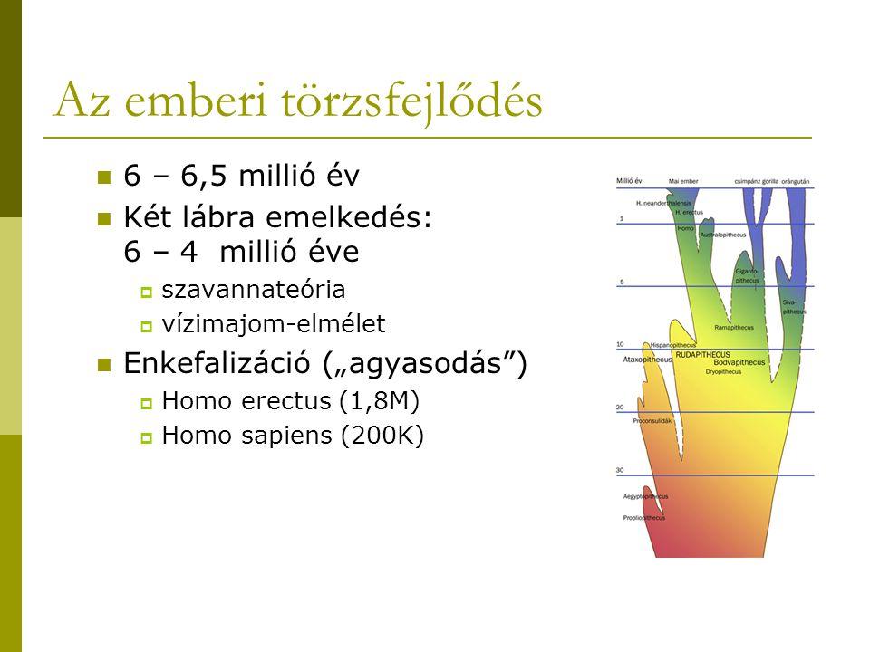 """Az emberi törzsfejlődés 6 – 6,5 millió év Két lábra emelkedés: 6 – 4 millió éve  szavannateória  vízimajom-elmélet Enkefalizáció (""""agyasodás"""")  Hom"""