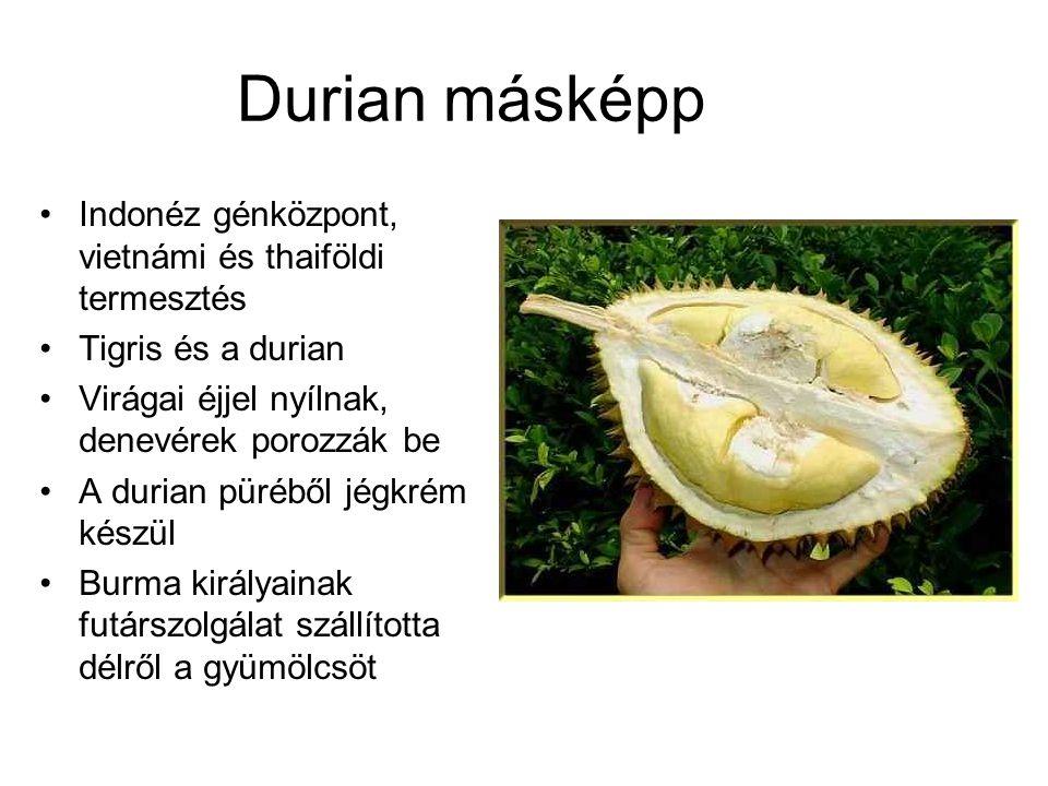 Durian másképp Indonéz génközpont, vietnámi és thaiföldi termesztés Tigris és a durian Virágai éjjel nyílnak, denevérek porozzák be A durian püréből j