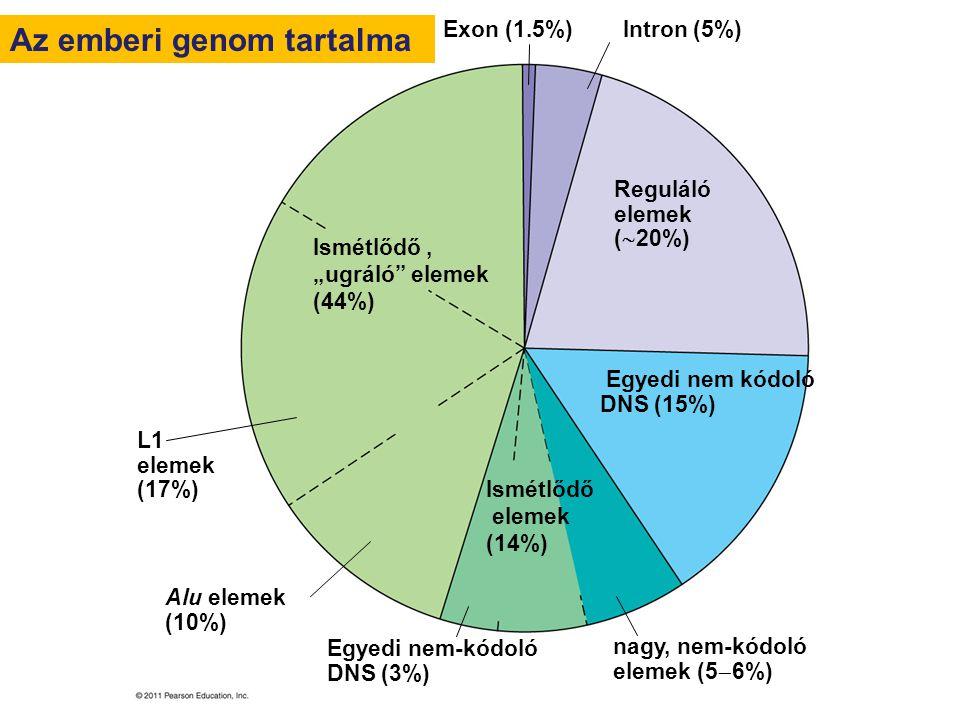 Exon (1.5%) Intron (5%) Reguláló elemek (  20%) Egyedi nem kódoló DNS (15%) nagy, nem-kódoló elemek (5  6%) Egyedi nem-kódoló DNS (3%) Alu elemek (1