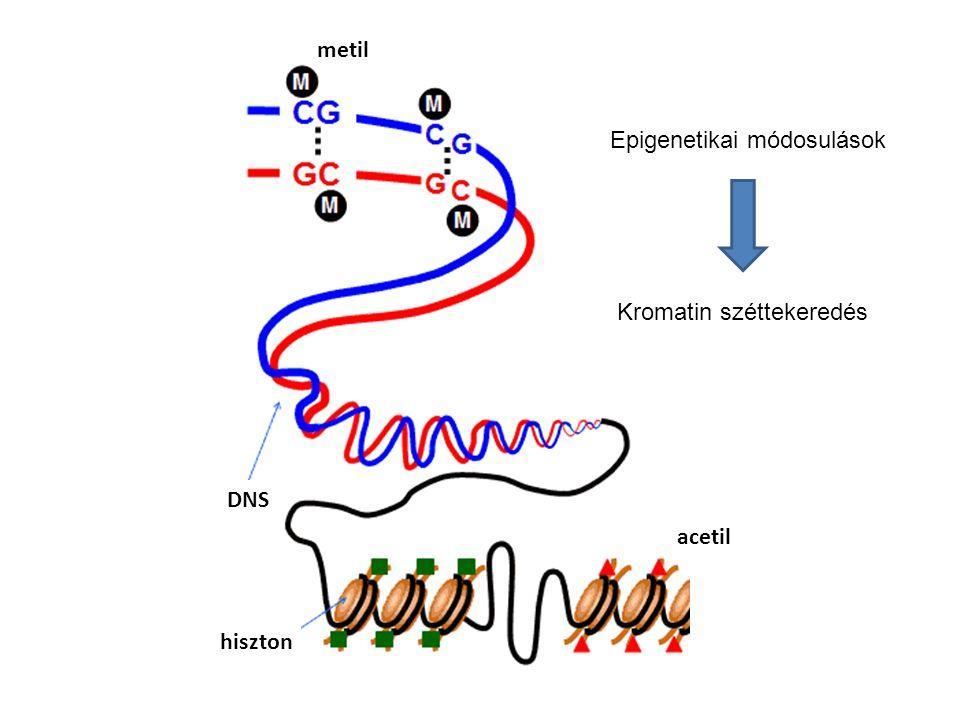 DNS hiszton metil acetil Epigenetikai módosulások Kromatin széttekeredés
