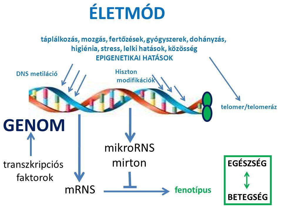 mRNS fenotípus mikroRNS mirton ÉLETMÓD táplálkozás, mozgás, fertőzések, gyógyszerek, dohányzás, higiénia, stress, lelki hatások, közösség EPIGENETIKAI