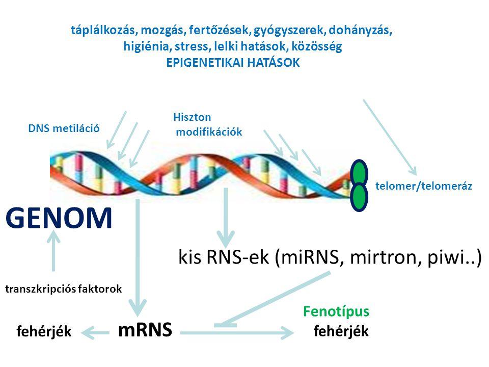 fehérjék mRNS Fenotípus fehérjék kis RNS-ek (miRNS, mirtron, piwi..) táplálkozás, mozgás, fertőzések, gyógyszerek, dohányzás, higiénia, stress, lelki