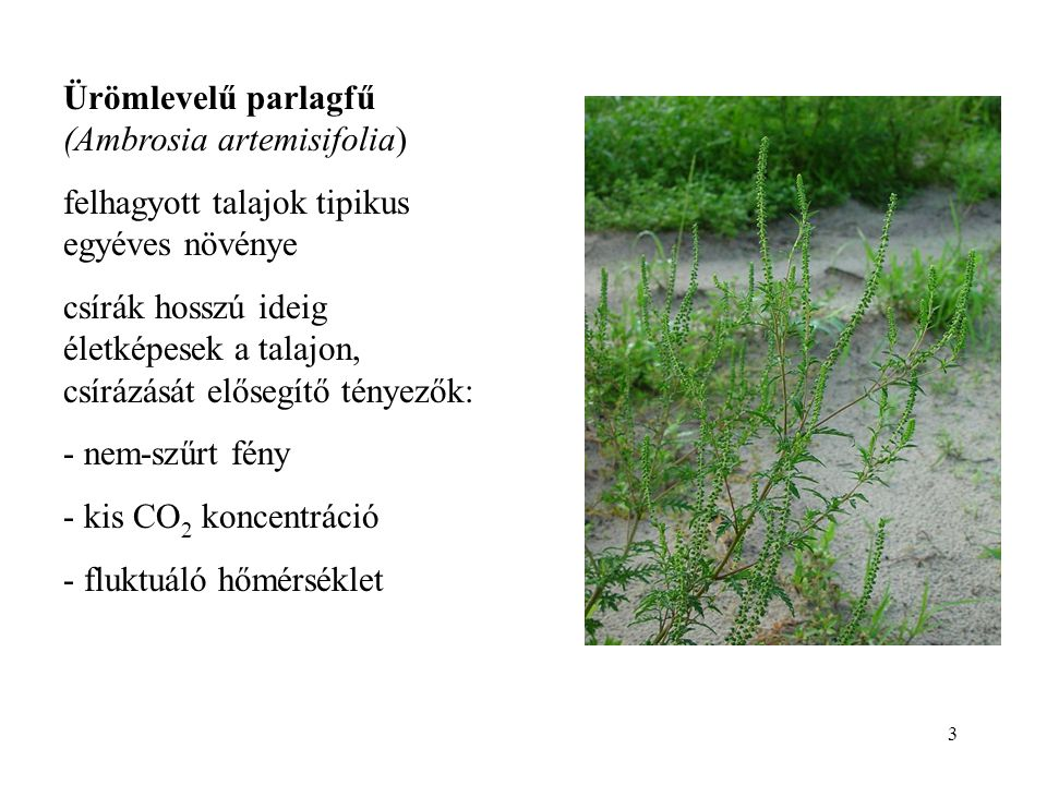 3 Ürömlevelű parlagfű (Ambrosia artemisifolia) felhagyott talajok tipikus egyéves növénye csírák hosszú ideig életképesek a talajon, csírázását előseg