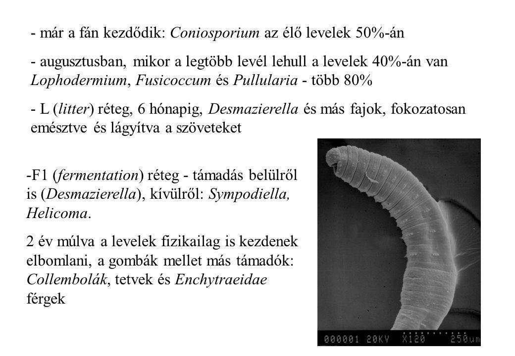 13 - már a fán kezdődik: Coniosporium az élő levelek 50%-án - augusztusban, mikor a legtöbb levél lehull a levelek 40%-án van Lophodermium, Fusicoccum