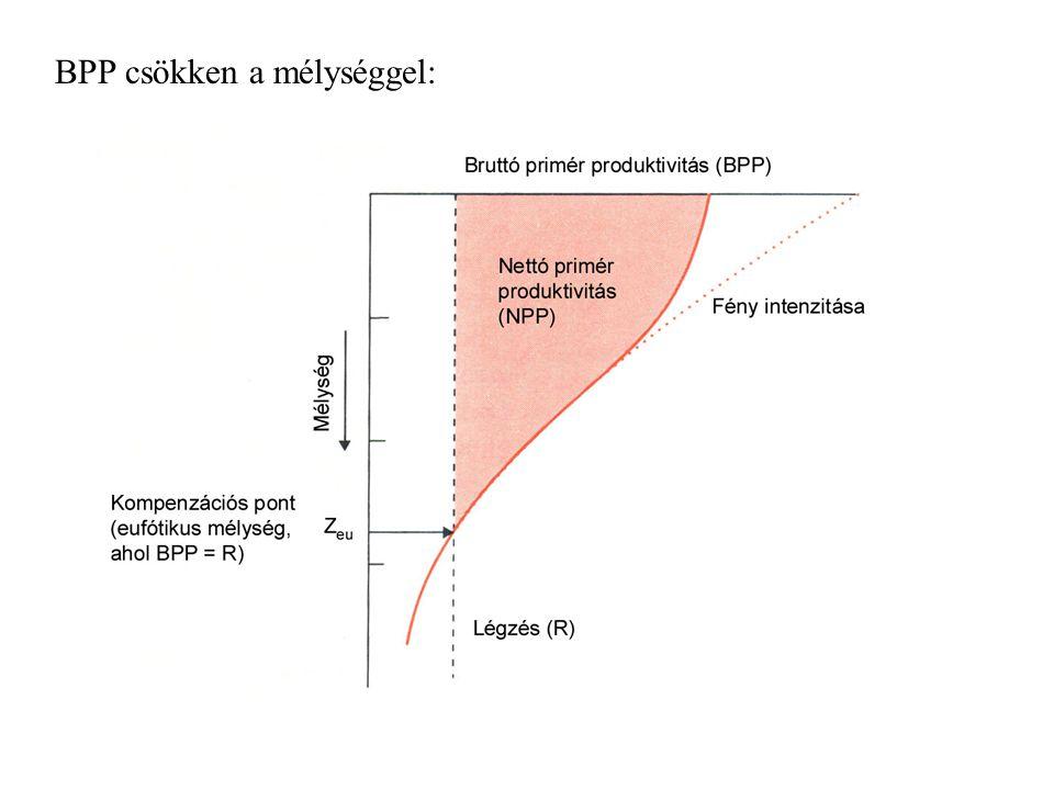 - fényt a vízmolekulák és oldott anyagok nyelik el, mélységgel exponenciálisan csökken - felszínhez egészen közel: erős napsütés esetén akár a fotoszintézis fotoinhibícióját is okozhatja