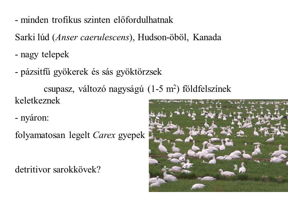 - minden trofikus szinten előfordulhatnak Sarki lúd (Anser caerulescens), Hudson-öböl, Kanada - nagy telepek - pázsitfű gyökerek és sás gyöktörzsek cs