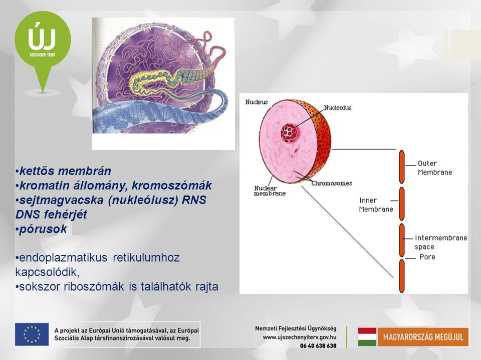 kettős membrán kromatin állomány, kromoszómák sejtmagvacska (nukleólusz) RNS DNS fehérjét pórusok endoplazmatikus retikulumhoz kapcsolódik, sokszor ri