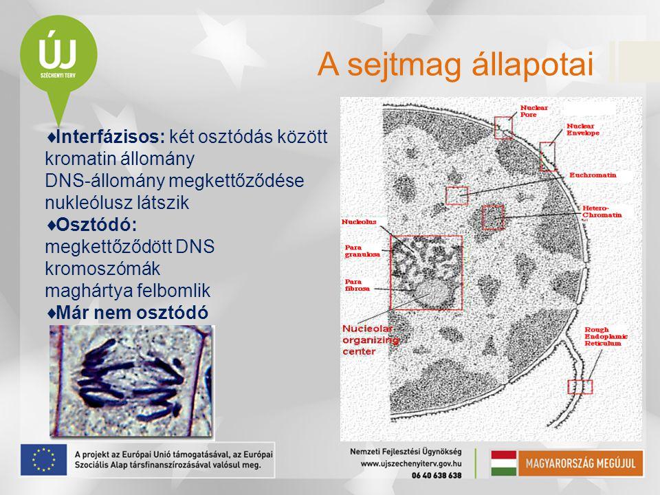 A sejtmag állapotai  Interfázisos: két osztódás között kromatin állomány DNS-állomány megkettőződése nukleólusz látszik  Osztódó: megkettőződött DNS