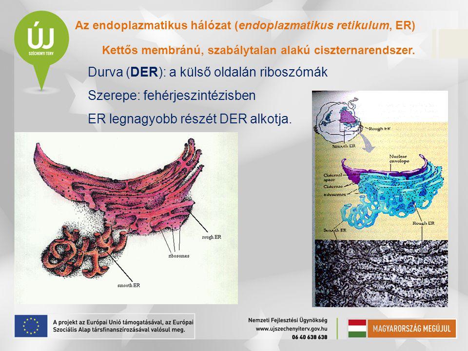 Az endoplazmatikus hálózat (endoplazmatikus retikulum, ER) Kettős membránú, szabálytalan alakú ciszternarendszer. Durva (DER): a külső oldalán riboszó