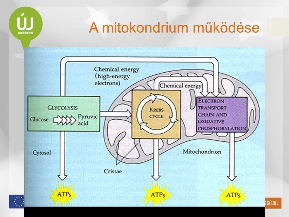 A mitokondrium működése