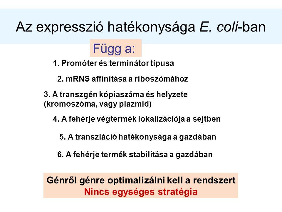Az expresszió hatékonysága E. coli-ban Függ a: 1. Promóter és terminátor típusa 2. mRNS affinitása a riboszómához 3. A transzgén kópiaszáma és helyzet
