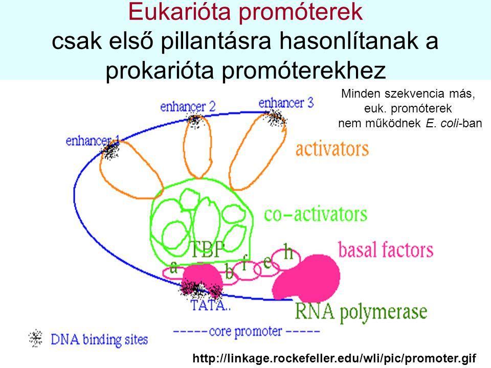 Eukarióta promóterek csak első pillantásra hasonlítanak a prokarióta promóterekhez http://linkage.rockefeller.edu/wli/pic/promoter.gif Minden szekvenc