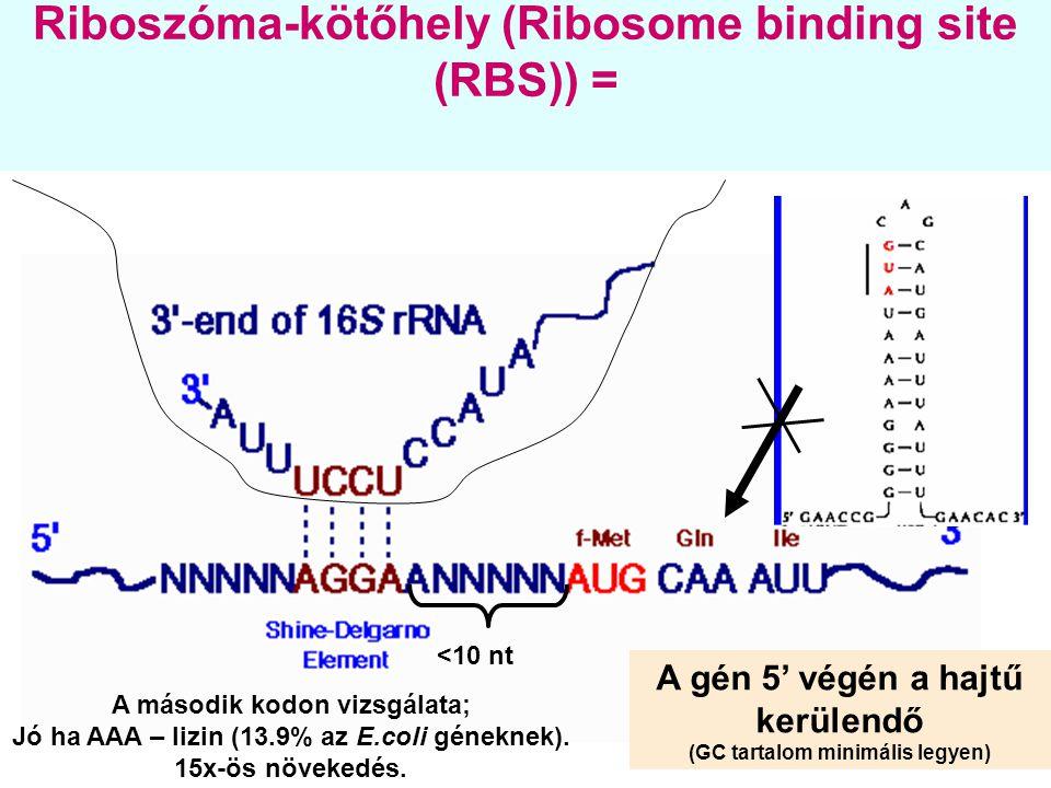 Riboszóma-kötőhely (Ribosome binding site (RBS)) = <10 nt A gén 5' végén a hajtű kerülendő (GC tartalom minimális legyen) A második kodon vizsgálata;