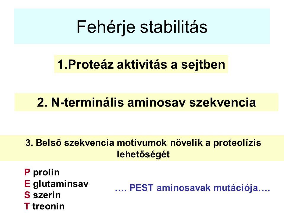 Fehérje stabilitás 1.Proteáz aktivitás a sejtben 2. N-terminális aminosav szekvencia 3. Belső szekvencia motívumok növelik a proteolízis lehetőségét P