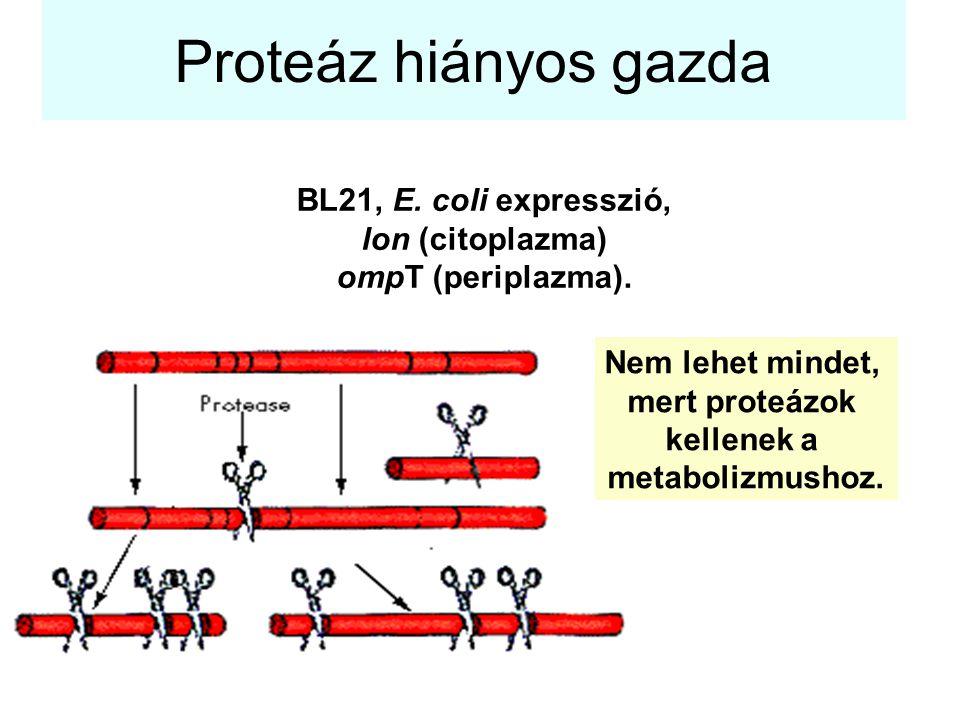 Proteáz hiányos gazda BL21, E. coli expresszió, lon (citoplazma) ompT (periplazma). Nem lehet mindet, mert proteázok kellenek a metabolizmushoz.