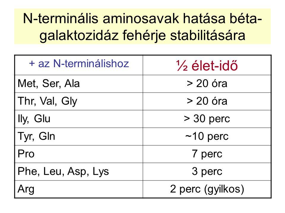 N-terminális aminosavak hatása béta- galaktozidáz fehérje stabilitására + az N-terminálishoz ½ élet-idő Met, Ser, Ala> 20 óra Thr, Val, Gly> 20 óra Il