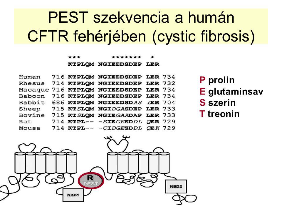 PEST szekvencia a humán CFTR fehérjében (cystic fibrosis) P prolin E glutaminsav S szerin T treonin
