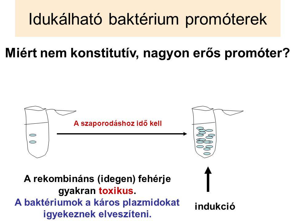 Idukálható baktérium promóterek Miért nem konstitutív, nagyon erős promóter? indukció A rekombináns (idegen) fehérje gyakran toxikus. A baktériumok a
