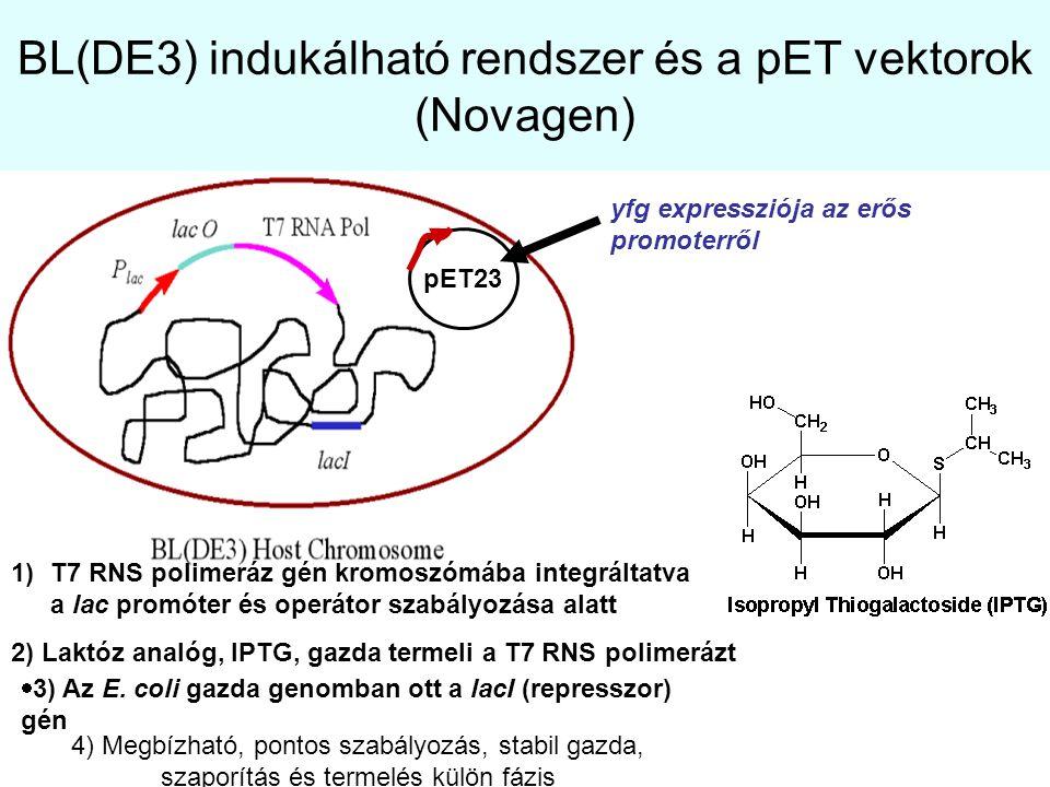 BL(DE3) indukálható rendszer és a pET vektorok (Novagen) 1)T7 RNS polimeráz gén kromoszómába integráltatva a lac promóter és operátor szabályozása ala