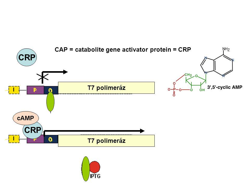 T7 polimeráz CRP cAMP CRP CAP = catabolite gene activator protein = CRP