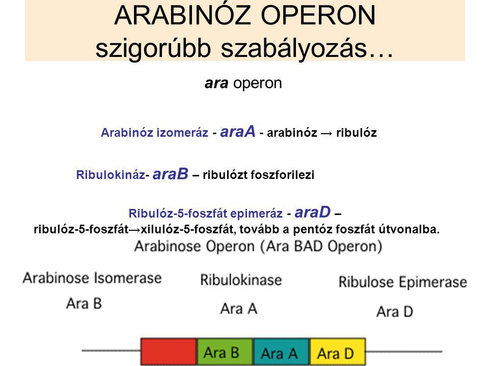ARABINÓZ OPERON szigorúbb szabályozás… ara operon Arabinóz izomeráz - araA - arabinóz → ribulóz Ribulokináz- araB – ribulózt foszforilezi Ribulóz-5-fo