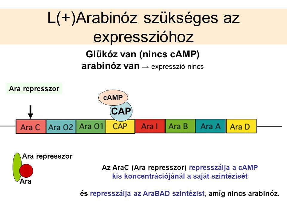L(+)Arabinóz szükséges az expresszióhoz Glükóz van (nincs cAMP) arabinóz van → expresszió nincs CAP cAMP Ara represszor Ara Ara represszor Az AraC (Ar