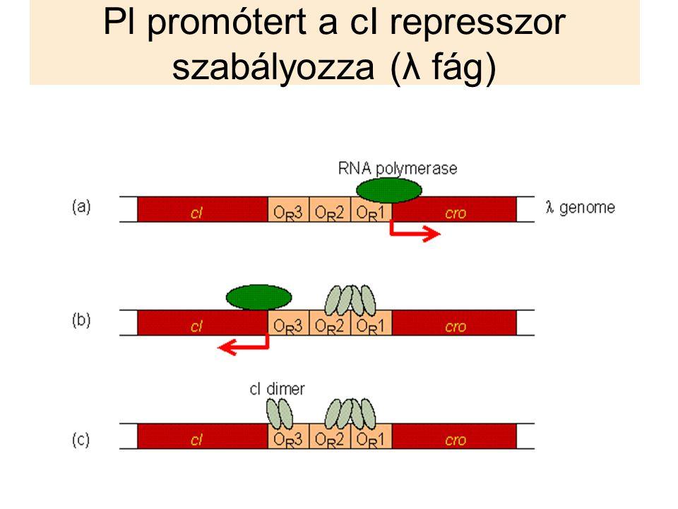 Pl promótert a cI represszor szabályozza (λ fág)